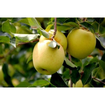 pomi-fructiferi-mar-golden-delicious-delicios-auriu--2894_2894